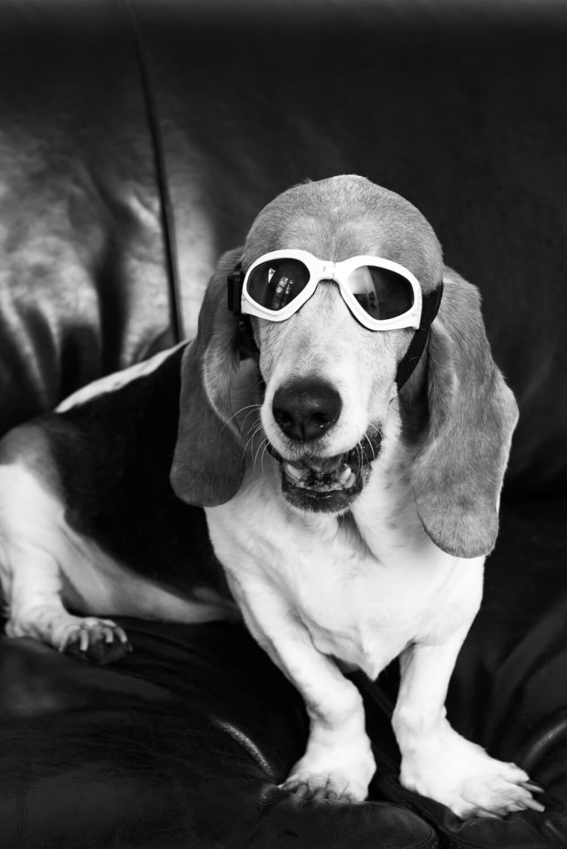 blind basset hound