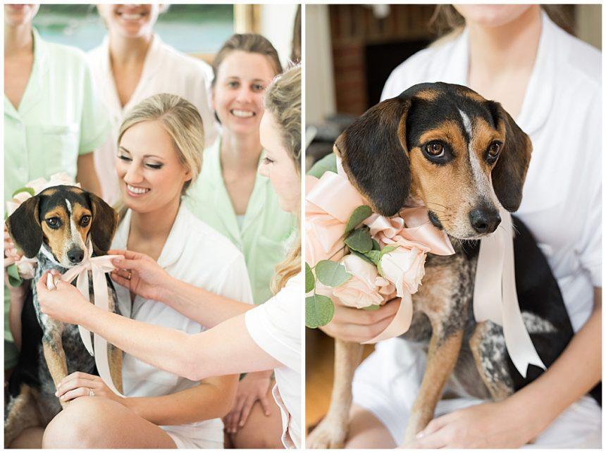 beagle wearing wedding floral collar